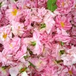 Производство на маслодайна роза и козметични продукти от нея | Олимп 7